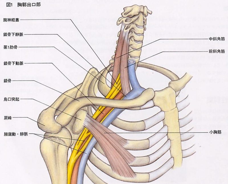 胸郭部の人体構造図